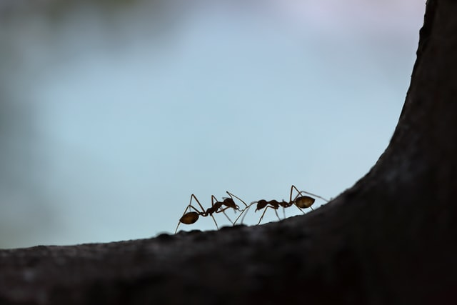 Can fire ants kill people?
